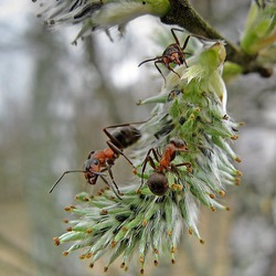 Тест средств от муравьев на личном опыте.