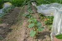 Пустоцвет вместо огурцов ( ( (