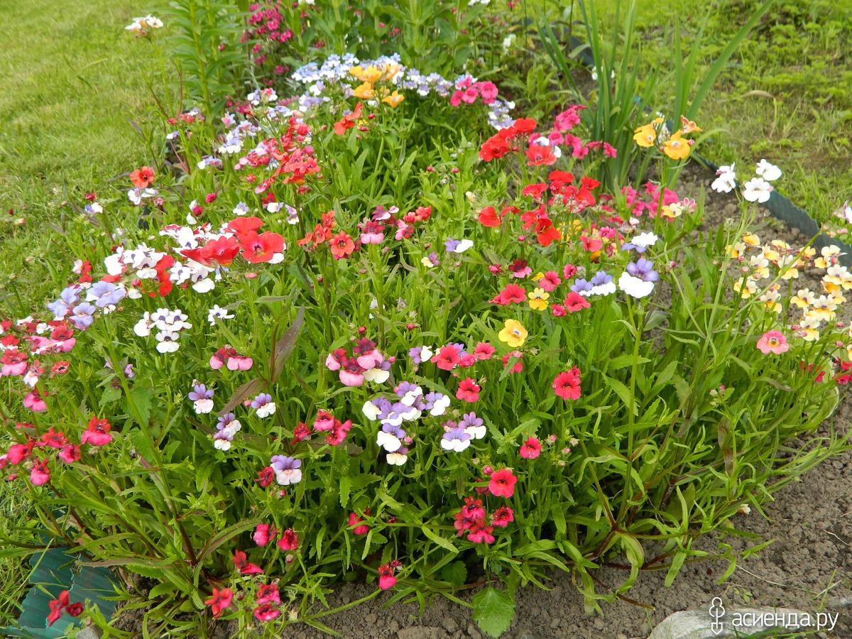 Цветы немезия