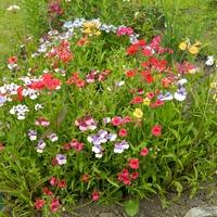 Немезия- новый цветок на моей клумбе...