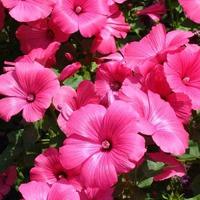 Лаватера - любимый цветок
