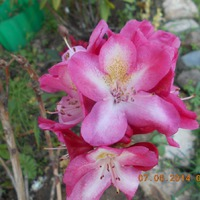 Красавцы- рододендроны