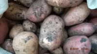 Сорта картошки, которые мы сажаем.