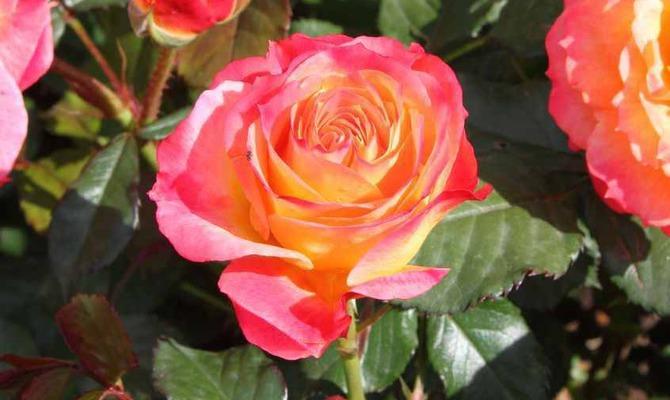 Роза красная моя… Самое важное о выращивании роз