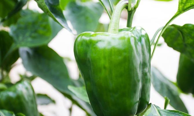 Перец овощной: посадка и уход