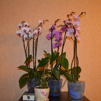 Орхидея. Из личного опыта.
