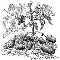 Вредители картофеля (часть 1)