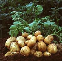 Вредители картофеля (часть 2)