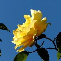 Расцвела моя плетистая роза