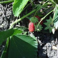 Первые ягоды