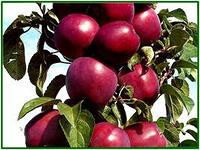 Сорт яблок Имант.