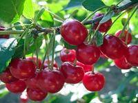 Вишня: посадка, уход и другие тонкости выращивания
