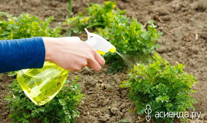 Проблемы при выращивании петрушки