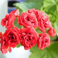 На моих окнах цветут пеларгонии...