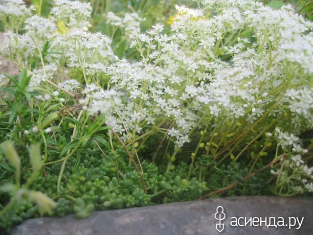 Очиток белый Хлоротикум