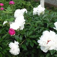 Цветут пионы и жасмин
