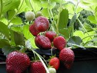 Проблемы при выращивании клубники
