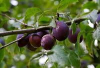 Проблемы при выращивании сливы. Часть 1.