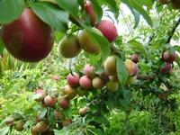 Проблемы при выращивании сливы. Часть 2.