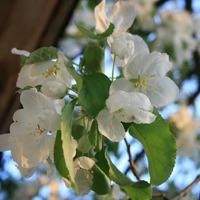 Райская яблоня. Мой праздник цветущего дерева.