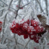 Дикорастущие ягоды (калина и рябина)