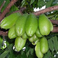 Билимби - огуречное дерево