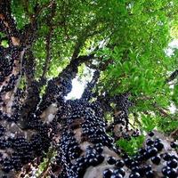 Джаботикаба – растение с плодами на стволе