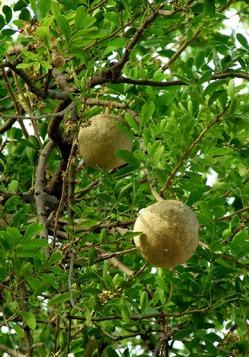 Ферония лимонная или деревянное яблоко