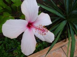 Гибискус как домашнее растение.