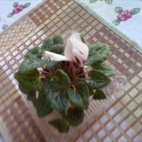 Цикламен персидский-мини из семян - первые цветы