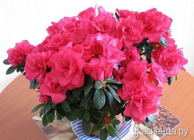 Комнатные цветы и кустарники с розовыми цветами: домашние 12