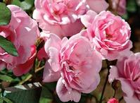 Обрезка роз: ответы на вопросы