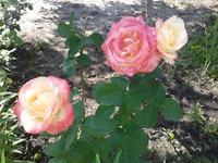 Укрываем розы на зиму. Часть первая: чего не стоит делать