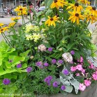 Клумбы в городе Тукумсе - 2012 (идеи сочетания растений на клумбах и в вазонах)