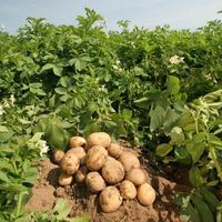 Ах, картошка, картошечка…