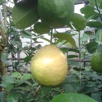 Посещение лимонария