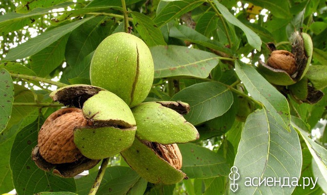 Как вырастить грецкий орех на даче