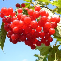 Калина в саду – сорта, уход, рецепты