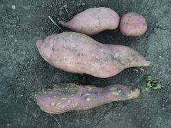 Сладкий картофель - батат
