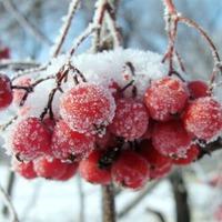 Подготовка ягодных культур к зиме