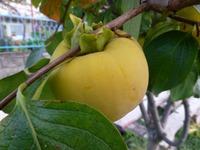 Яблочко райское...