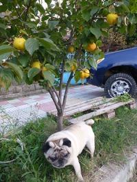 Райская яблоня...
