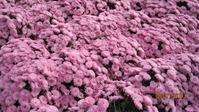 Выставка хризантем в Никитском Ботаническом саду - 2013 год ноябрь