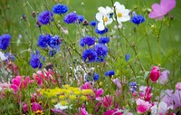Газон из диких цветов. Очаровательные гости с полей