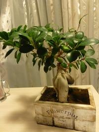 Flowerpot de Roze/ Адениум.