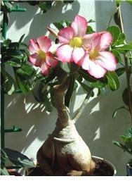 Цветение адениума ( из инета)