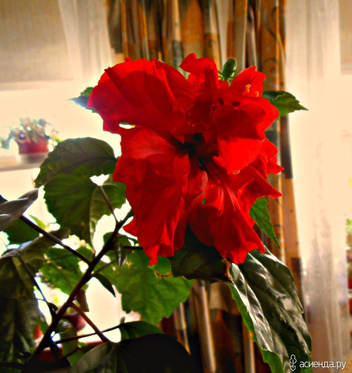 Китайская роза: уход и роскошные фото в домашних условиях