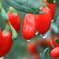 Как вырастить ягоды годжи