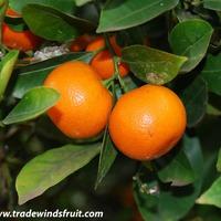 Помогите сформировать крону мандаринового дерева!