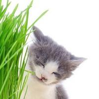 Что такое кошачья трава и зачем она этим животным